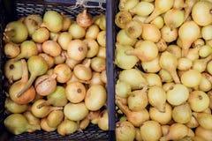 Raccolto della cipolla nel campo di Valencia Spain huerta Immagine Stock