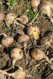 Raccolto della cipolla organica Immagini Stock Libere da Diritti