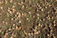 Raccolto della cipolla organica Fotografie Stock