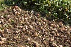 Raccolto della cipolla organica Fotografie Stock Libere da Diritti