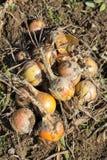 Raccolto della cipolla organica Fotografia Stock