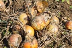 Raccolto della cipolla organica Immagini Stock