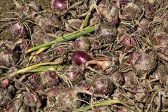 Raccolto della cipolla organica rossa Fotografia Stock Libera da Diritti