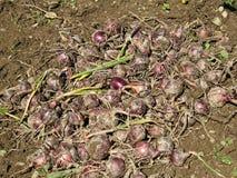 Raccolto della cipolla organica rossa Fotografia Stock