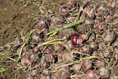 Raccolto della cipolla organica rossa Immagine Stock