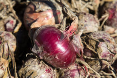 Raccolto della cipolla rossa organica Fotografie Stock