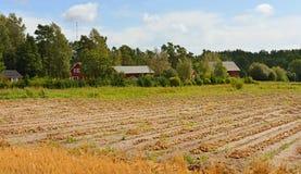 Raccolto della cipolla sul campo Immagine Stock Libera da Diritti