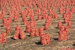 Raccolto della cipolla sull'azienda agricola fotografia stock libera da diritti