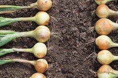 Raccolto della cipolla sulla terra Fotografia Stock