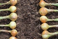 Raccolto della cipolla sulla terra Fotografie Stock Libere da Diritti