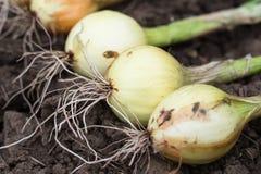 Raccolto della cipolla sulla terra Primo piano Immagine Stock