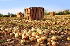 Raccolto della cipolla in Valencia Spain huerta Fotografia Stock