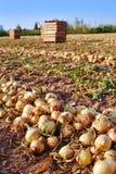 Raccolto della cipolla in Valencia Spain huerta Fotografie Stock