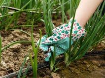 Raccolto della cipolla verde Immagini Stock Libere da Diritti