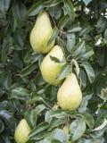Raccolto della frutta Immagini Stock Libere da Diritti
