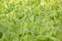 raccolto della lattuga Immagini Stock Libere da Diritti