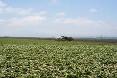 Raccolto della lattuga in nebbia di California Immagine Stock