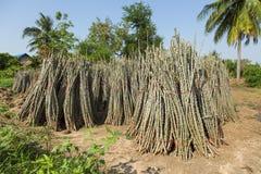 Raccolto della manioca Fotografie Stock