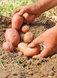 Raccolto della patata Fotografia Stock Libera da Diritti