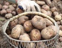 Raccolto della patata Immagini Stock