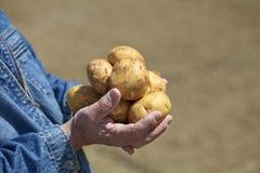 Raccolto della patata, mano Immagine Stock