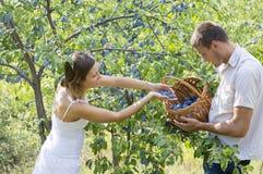 Raccolto della prugna nel campo un giorno soleggiato Fotografia Stock