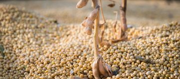 Raccolto della soia Fotografia Stock