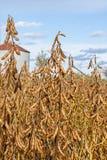 Raccolto della soia Fotografie Stock