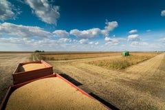Raccolto della soia nel campo Fotografia Stock Libera da Diritti