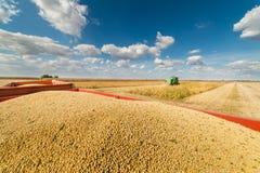 Raccolto della soia nel campo Fotografia Stock