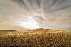 Raccolto della soia nel tramonto Fotografia Stock Libera da Diritti