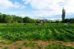 Raccolto delle fragole sul giacimento delle fragole Montagna su fondo Fotografie Stock