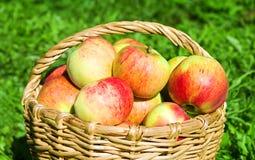 Raccolto delle mele in un frutteto di autunno Fotografie Stock Libere da Diritti