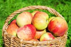 Raccolto delle mele in un frutteto di autunno Immagine Stock