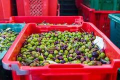 Raccolto delle olive fresche in una scatola rossa e blu Fotografia Stock
