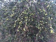 Raccolto delle olive a mano Fotografia Stock
