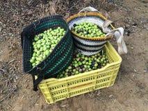 Raccolto delle olive a mano Fotografie Stock Libere da Diritti