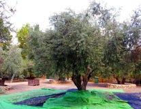 Raccolto delle olive nere al monastero di Latrun Fotografie Stock Libere da Diritti