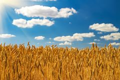 Raccolto delle orecchie mature del grano sotto un chiaro cielo blu immagini stock