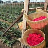 Raccolto delle rose, piantagione nell'Ecuador Fotografia Stock