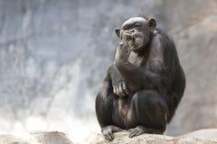Raccolto dello scimpanzè è denti Fotografia Stock