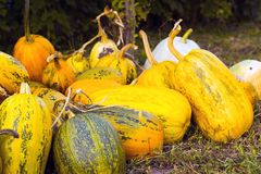 Raccolto di autunno delle zucche sul cortile Fotografia Stock