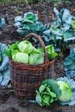 Raccolto di cavolo verde in un canestro sulla pianta Immagini Stock Libere da Diritti