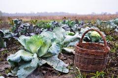 Raccolto di cavolo verde in un canestro sulla pianta Fotografie Stock Libere da Diritti