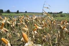Raccolto di cereale Immagini Stock Libere da Diritti