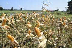 Raccolto di cereale Immagine Stock