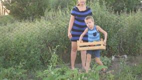 Raccolto di raccolto del ragazzo e della donna delle melanzane nel giardino nella scatola di legno Generi gli ortaggi freschi di  stock footage