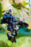 Raccolto di estate dell'uva di Cabernet in Napa Valley, California, U.S.A. fotografie stock