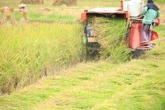 Raccolto di grano del riso Fotografie Stock Libere da Diritti