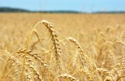 Raccolto di grano della segale sul giacimento della segale Fotografia Stock Libera da Diritti